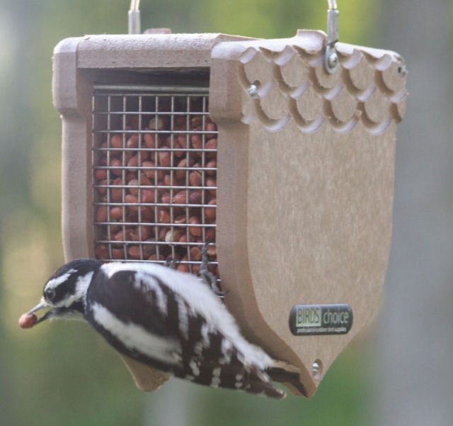 Downey Woodpecker on a Birds Choice Acorn Peanut feeder click to enlarge!