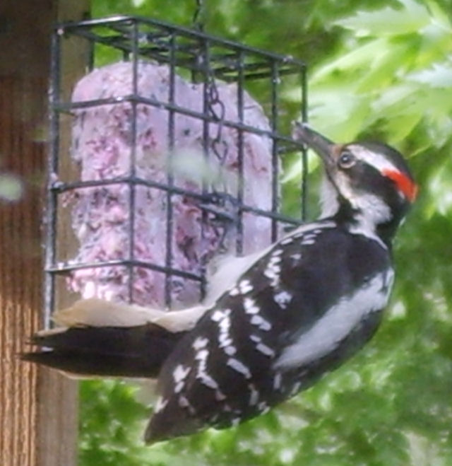 Hairy Woodpecker on a Wild Delight suet cake click to enlarge!