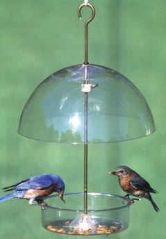 Bluebirds eating mealworms from a Droll Yankees Seed Saver feeder click to enlarge!