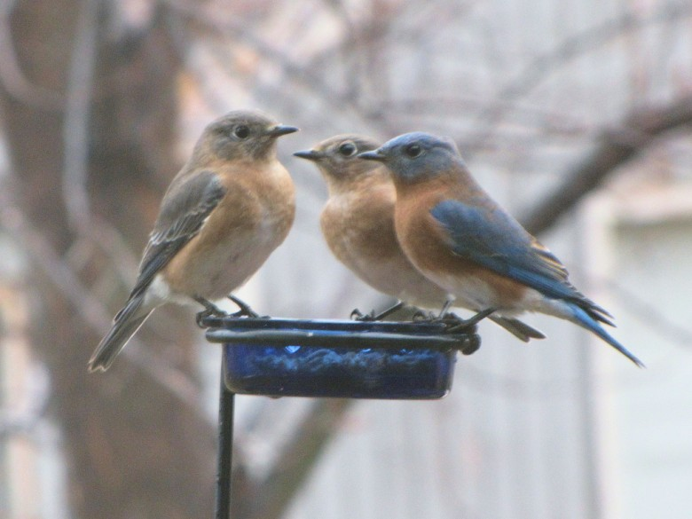 Eastern Bluebirds click to enlarge!