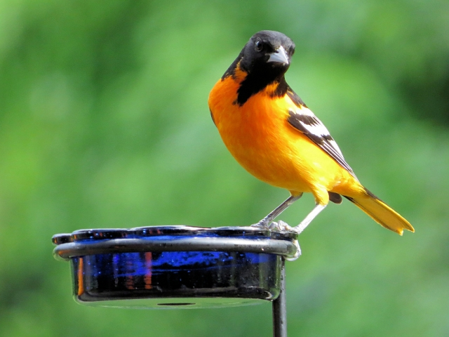 Adult Male Baltimore Oriole