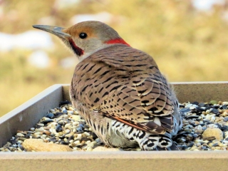 Morph of Yellow and Red Shafted Flicker