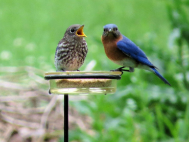 Mommy, Daddy and Baby Bluebirds Dining on Mealworms